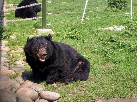 Animals Asia Moon Bear Wilbur