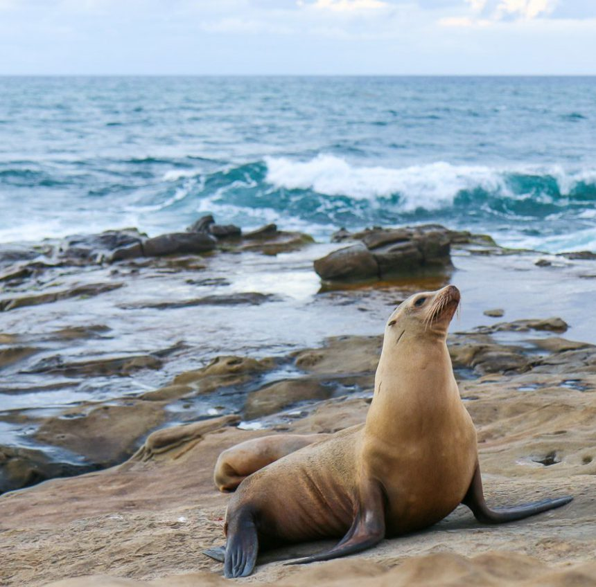 How to See the La Jolla Seals and Sea Lions