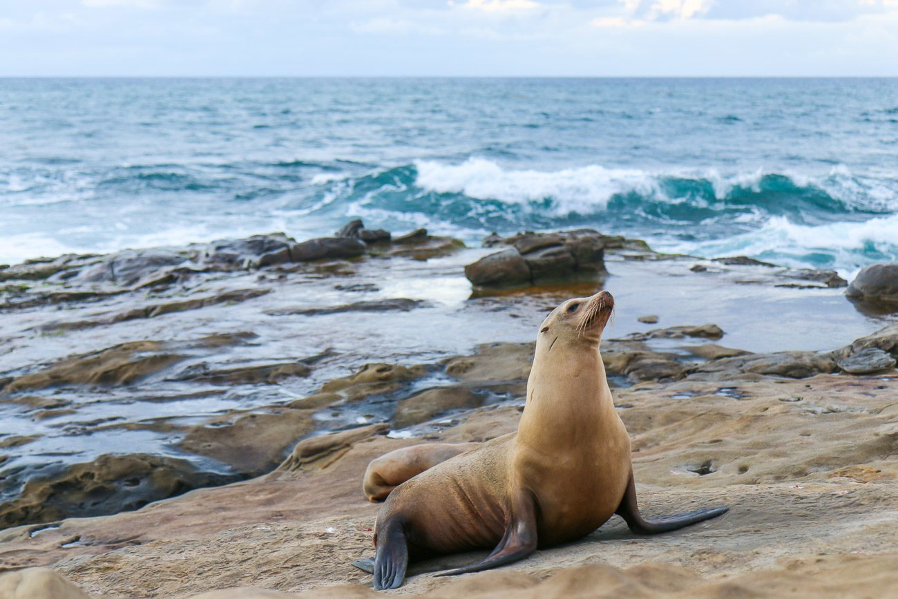 A sea lion sunbathes on the shore of Boomer Beach in La Jolla.