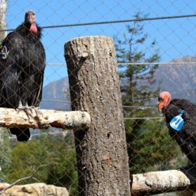 California Condors: Facts You Can Tell Your Kids About Our State's Rare Bird