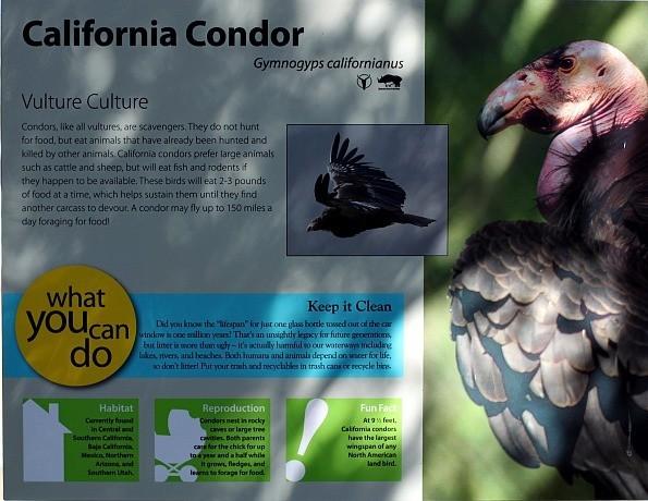 California Condor Facts