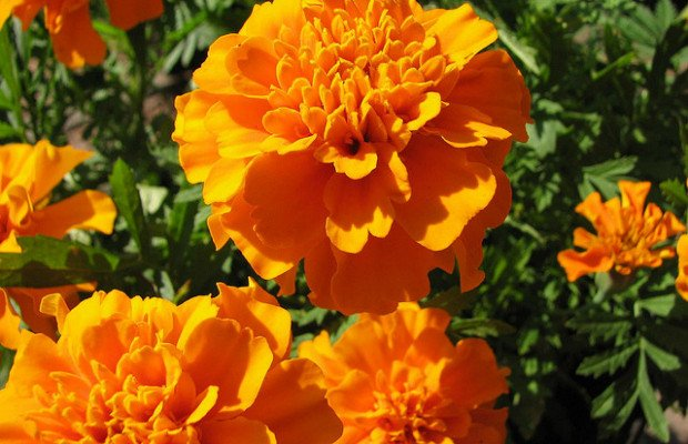 African marigolds decorate Dia de los Muertos altars. They are thought to guide the spirits back to feast via their vibrant color and scent.