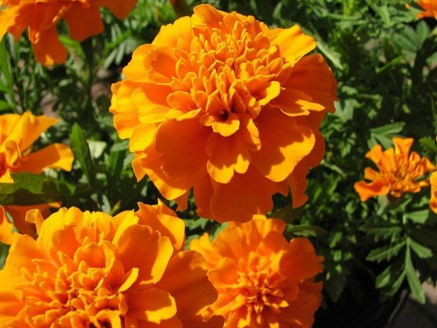 The Role Marigolds Play In Dia De Los Muertos Cempas 224 186 Chil