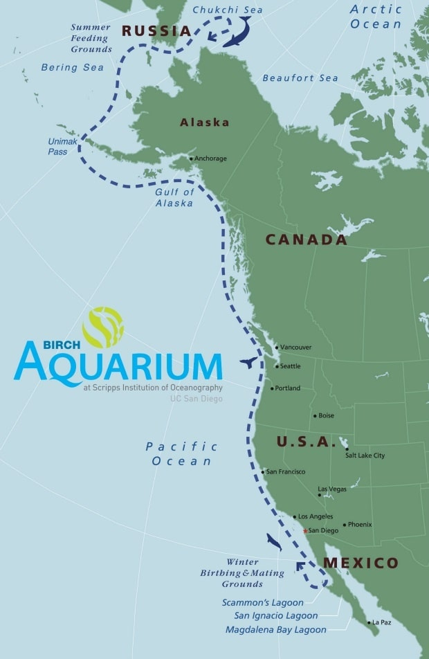 Wow Your Kids With Gray Whale Migration Trivia | Birch Aquarium Whale Migration Route Map on