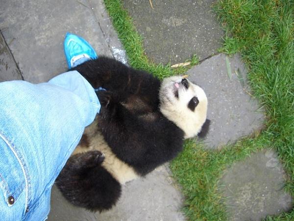 Wolong Nature Reserve Panda China