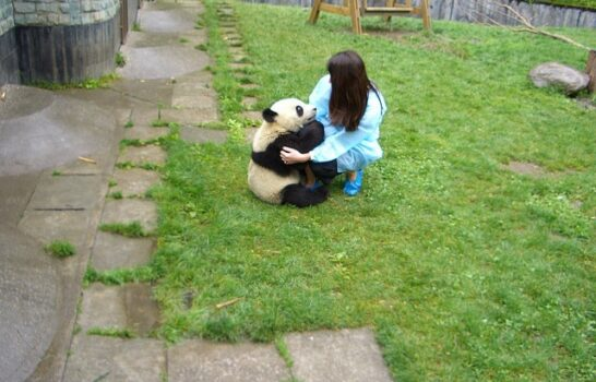 Hugging Giant Pandas In Sichuan