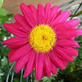 How To Use Chrysanthemums As Pest Control