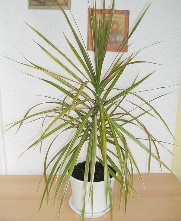 Red-edged dracaena (Dracaena marginata) cleans air