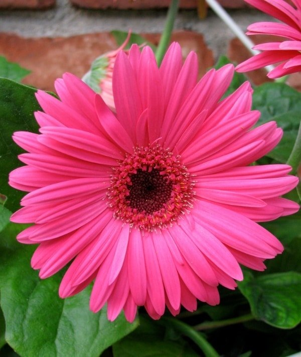 gerbera daisy daisies clean indoor air and produce oxygen at night