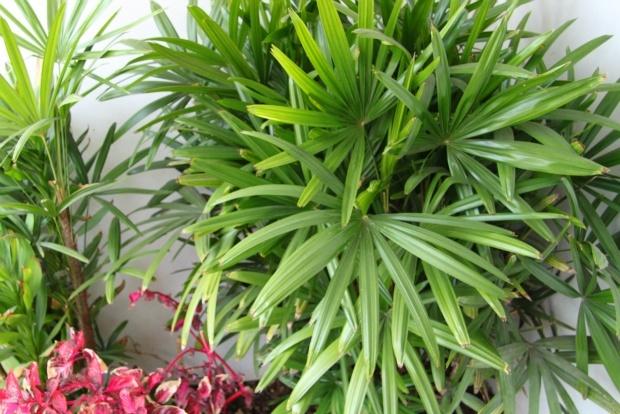 lady palms rhapis excelsa purifies indoor air