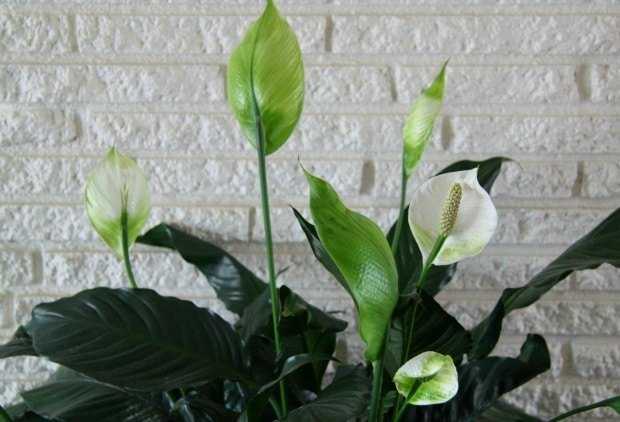 peace lily cleans and purifies indoor air