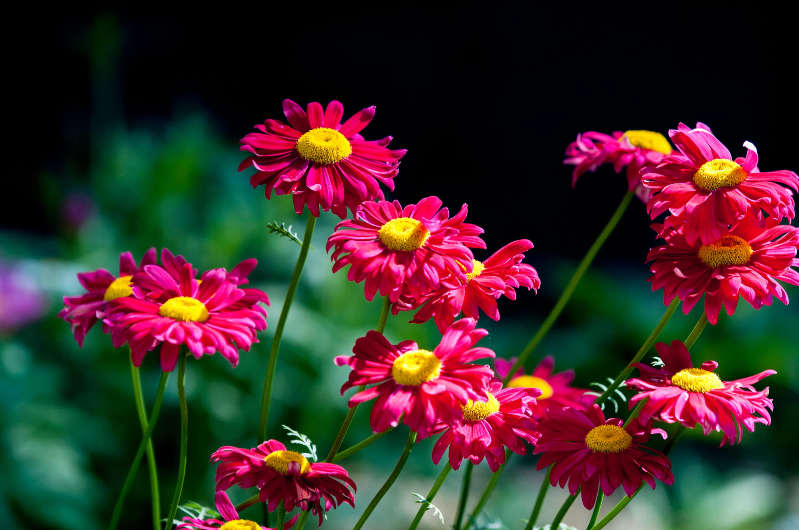 A group of Pyrethrum Daisies growing in a garden