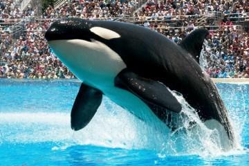 San Diego Attractions: SeaWorld San Diego Shamu