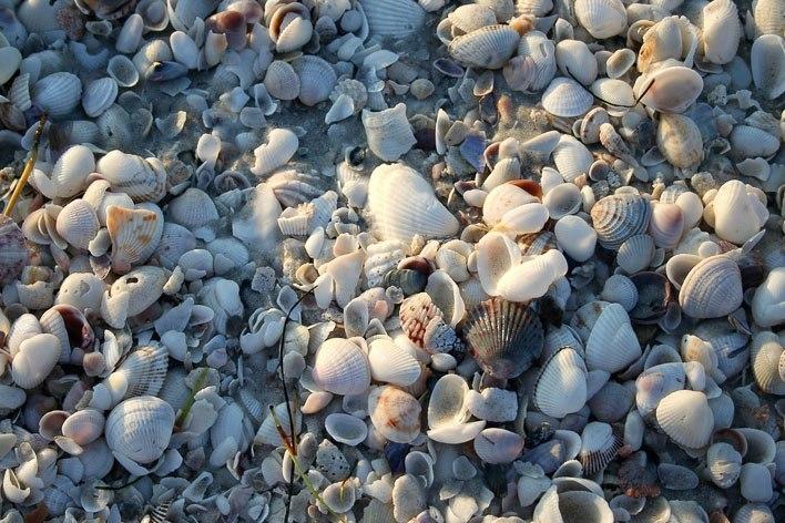 Sanibel Island Beach Seashells