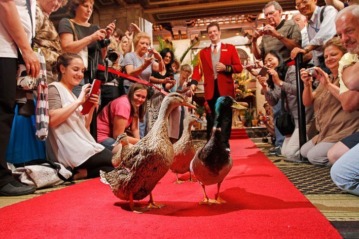 When Ducks March Through A Luxury Hotel In Memphis The