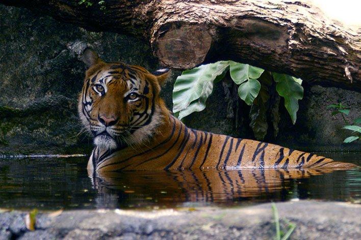Singapore with Kids Night Safari Tiger
