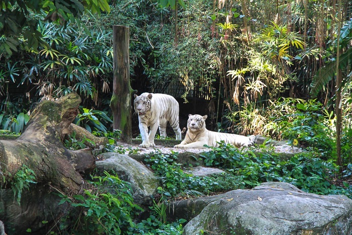 Singapore Zoo White Tigers