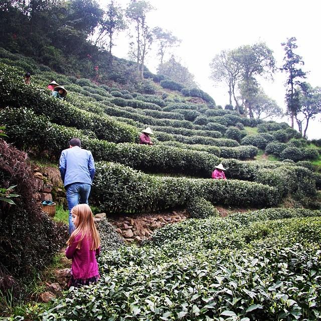 Hangzhou long jing or dragon well tea fields