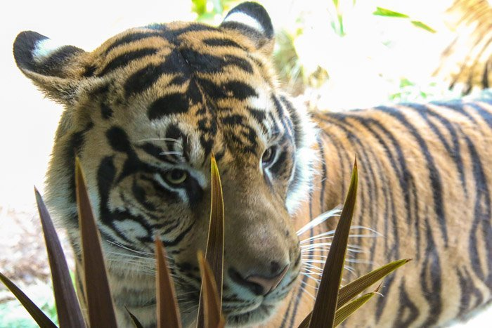 san diego zoo safari park tiger trail close-up