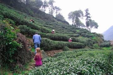 hangzhou longjing tea fields in mei jia wu