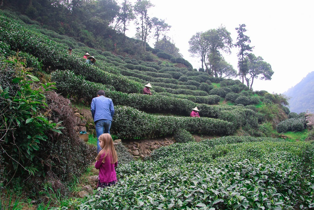 A Private Longjing Tea Picking Tour In Hangzhou With Kids