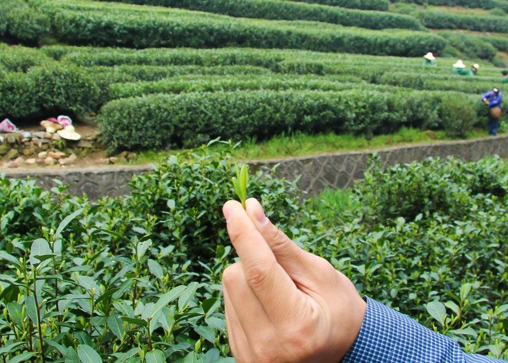 hangzhou longjing tea leaf