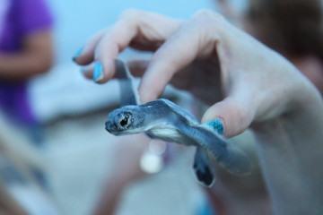 moon palace sea turtle release