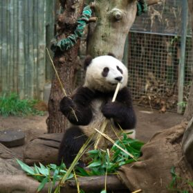 Book Early Morning with Pandas at the San Diego Zoo