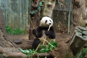 Have breakfast with the pandas at the San Diego Zoo