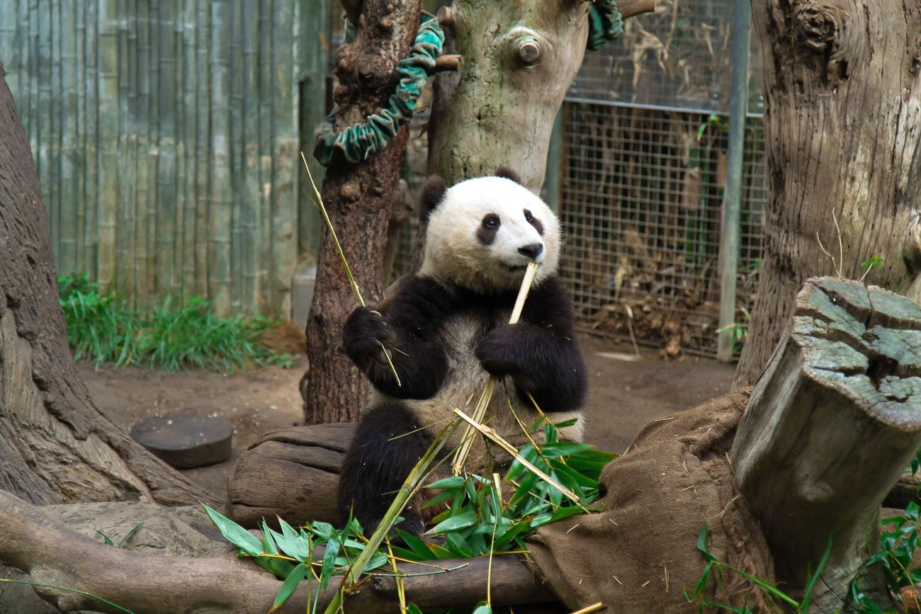 Book Early Morning With Pandas At The San Diego Zoo La