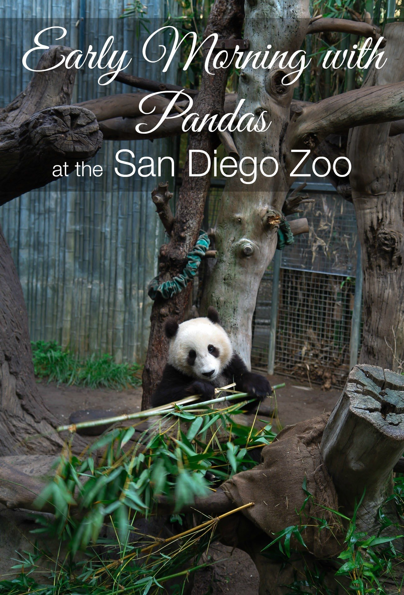 Visit the pandas before the San Diego Zoo opens
