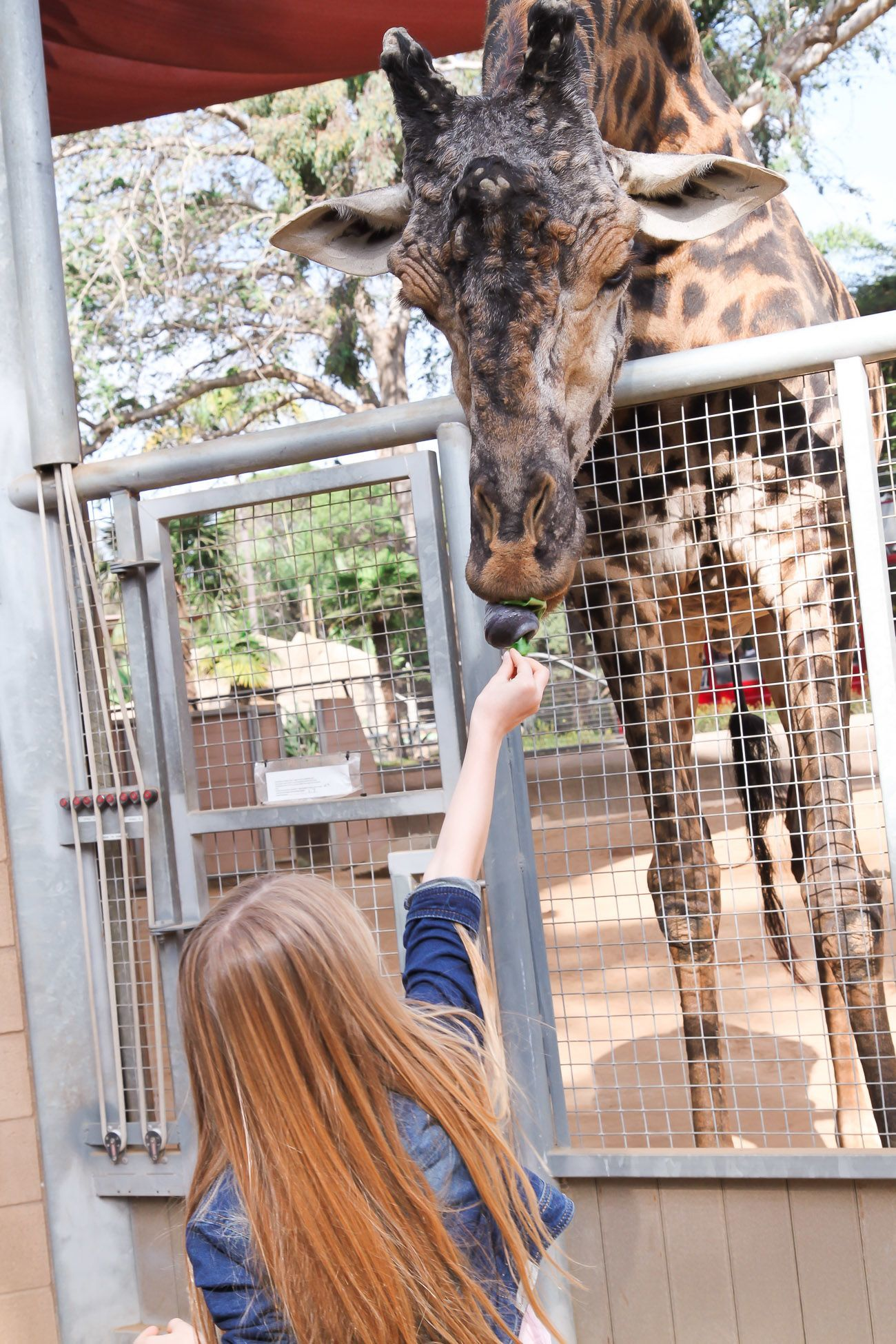 Feeding a giraffe at the San Diego Zoo