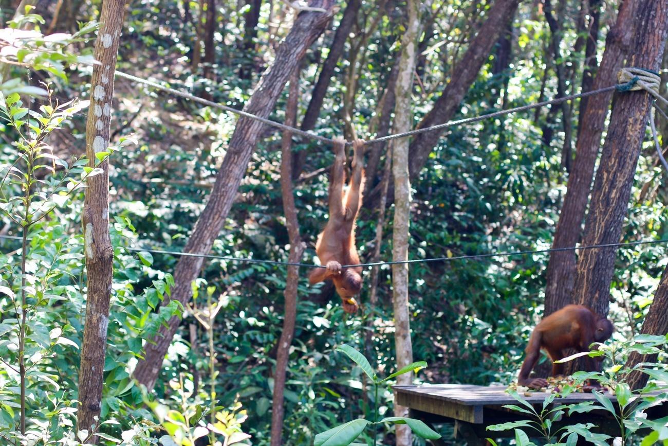 Orangutans swinging around the sanctuary at Shangri-la Rasa Ria Resort and Spa