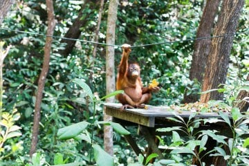 Learn more about the orangutan sanctuary at Shangri-la Rasa Ria Resort in Kota Kinabalu