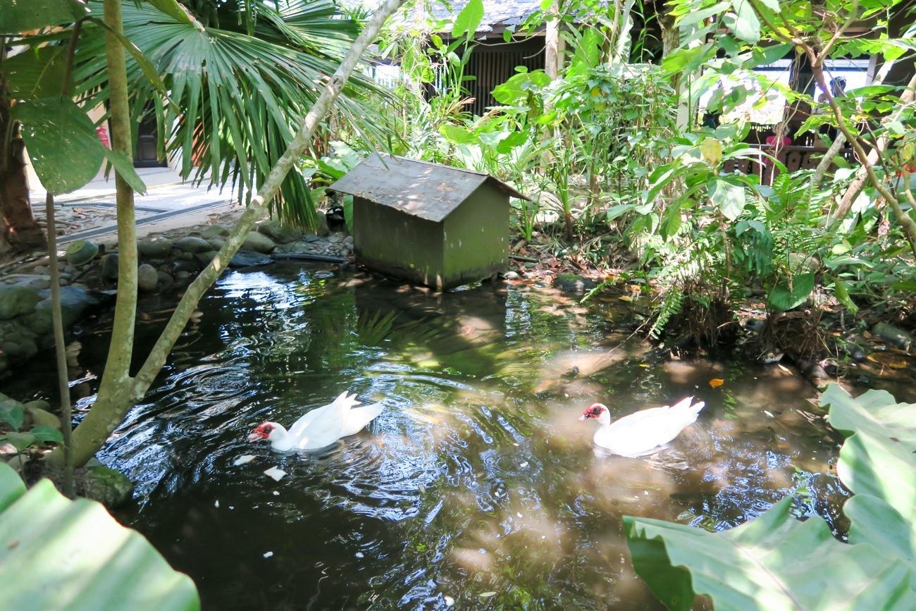Ducks at the Shangri-la Rasa Ria Resort and Spa Nature Reserve in Kota Kinabalu