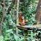 See Orangutans at Shangri-la's Rasa Ria Nature Reserve