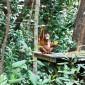 Learn more about the orangutan sanctuary at Shangri-la Rasa Ria Resort in Kota Kinabalu