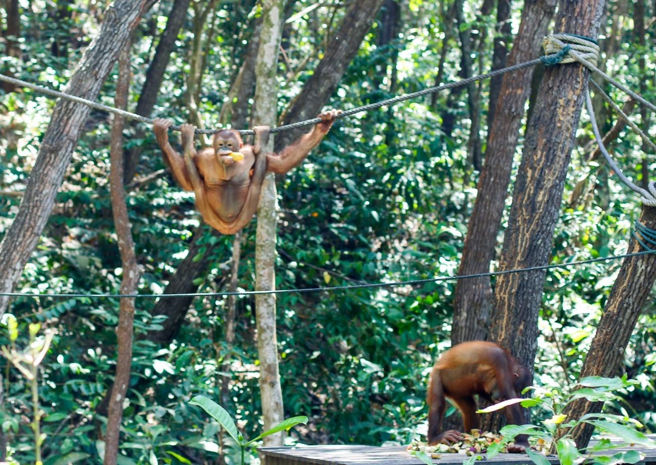 The orangutans at Shangri-la Rasa Ria Resort and Spa in Kota Kinabalu
