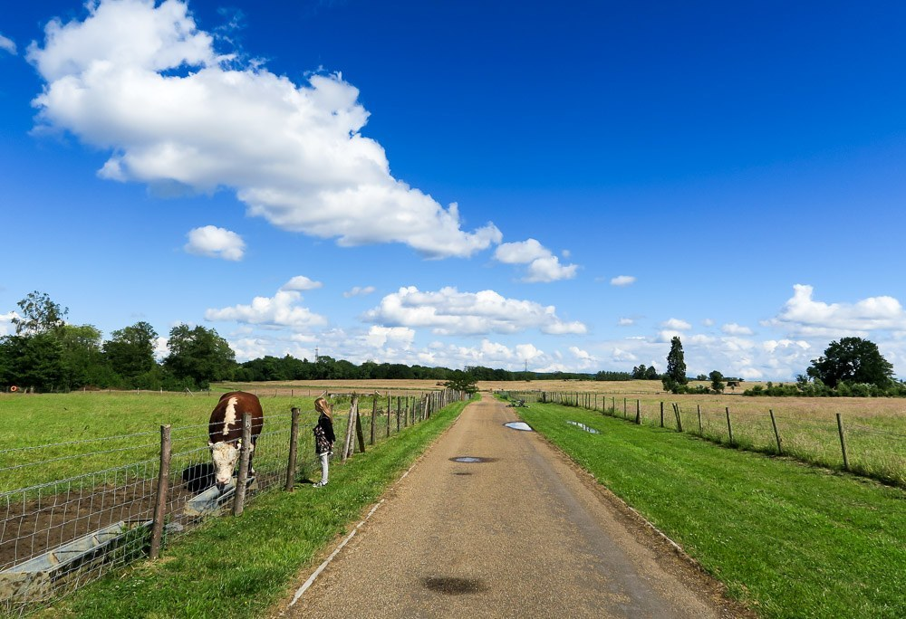 Cows roam near Four Seasons Hotel Hampshire, England