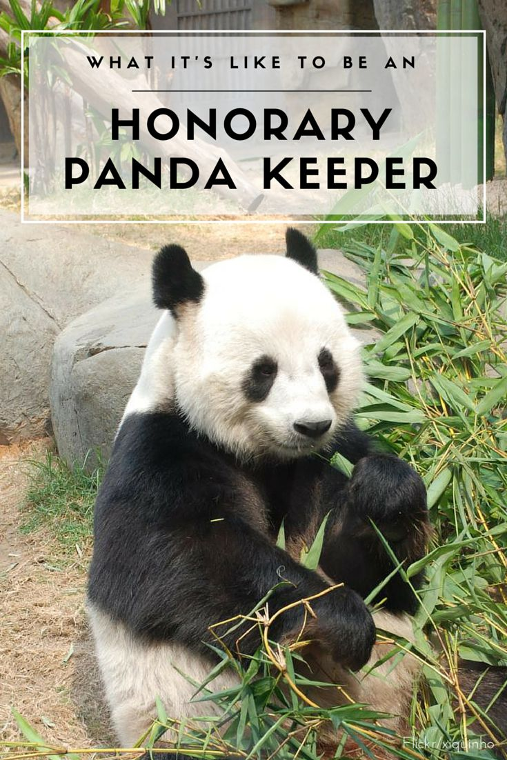 The Honorary Panda Keeper program at Ocean Park in Hong Kong gives participants up-close encounters with giant pandas and an opportunity to learn about their care. So fun.