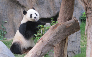 The Honorary Panda Keeper Program at Ocean Park in Hong Kong lets guests get close to and learn quite a bit about giant pandas.
