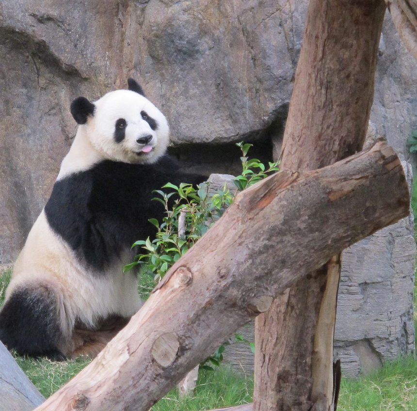 What It's Like to Be an Honorary Panda Keeper at Ocean Park in Hong Kong