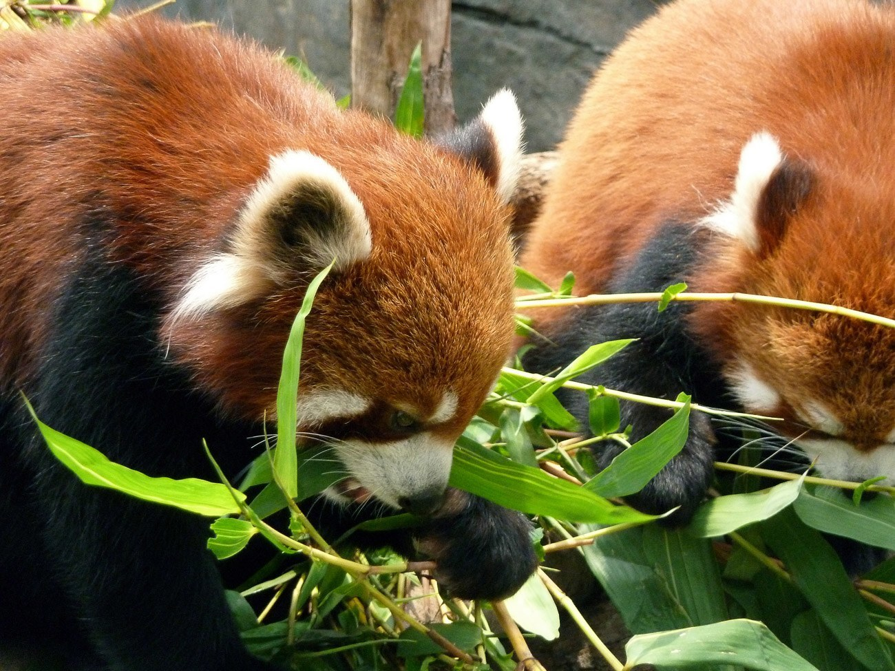 We were able to see the red pandas behind-the-scenes while resting in their private enclosure at Ocean Park in Hong Kong