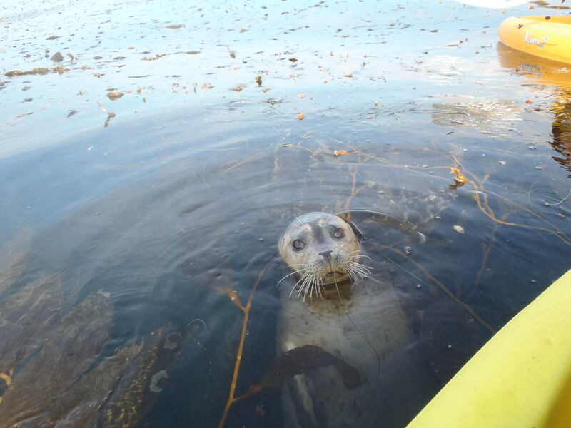 A La Jolla seal checking out a kayak