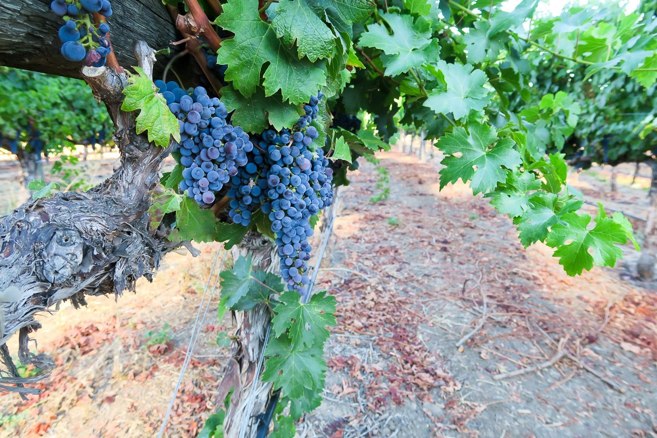 Grapes in the vineyards surrounding Rutherford House in Napa Valley