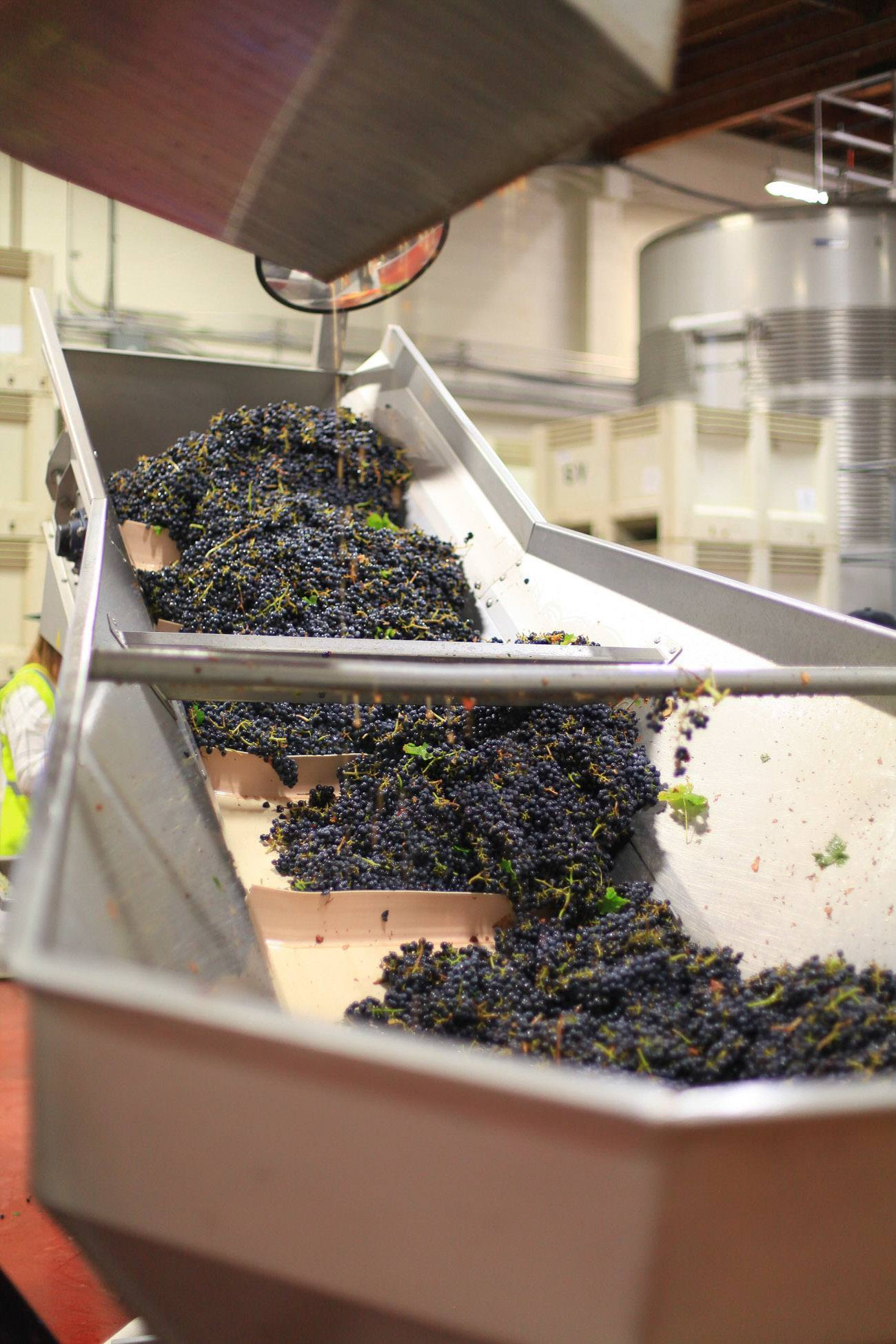 Grapes being sorted at Sterling Vineyards in Napa Valley