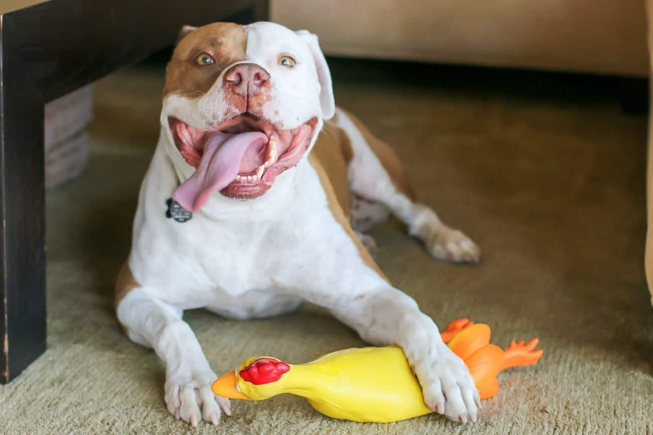 Learn what kind of gear and toys work for our rescued (and slightly pampered) pitbull.