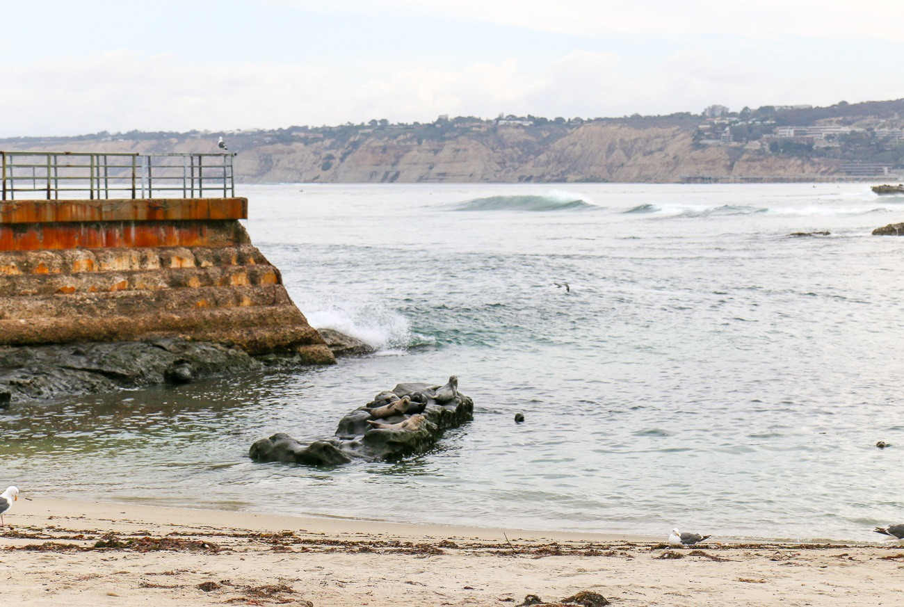 The La Jolla seals at the Children's Pool beach.