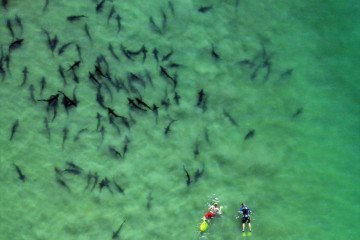 Swimming with leopard sharks is one of La Jolla's best summer attractions.