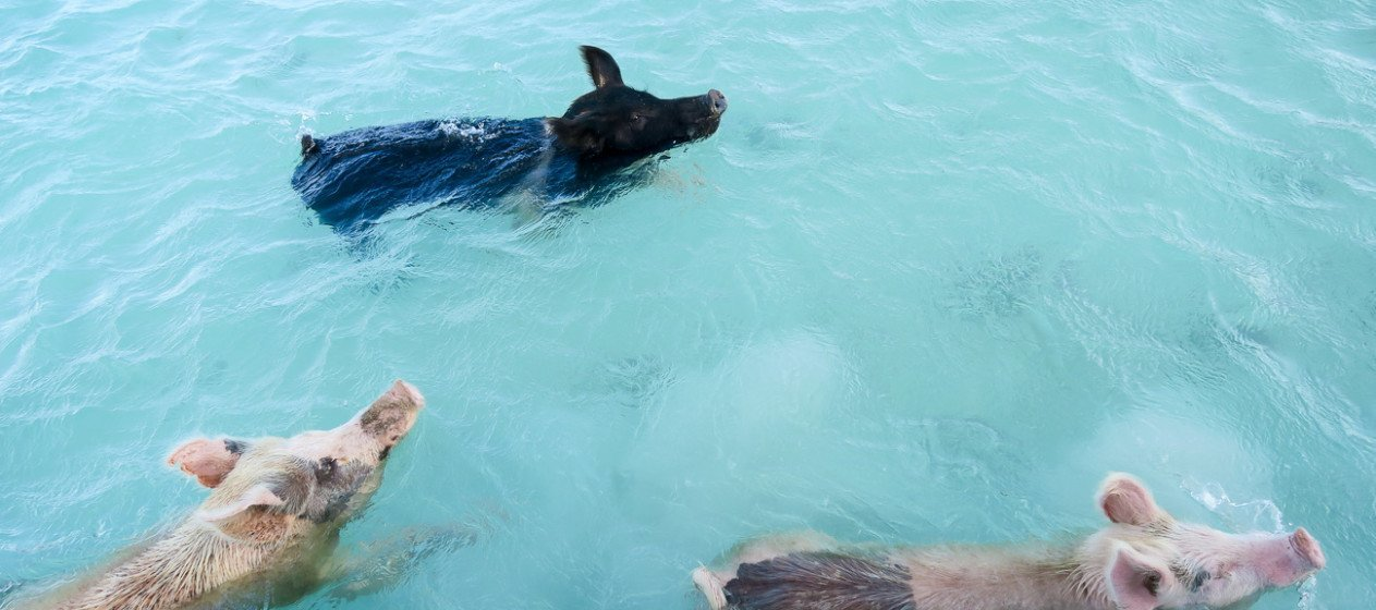 The swimming pigs of the Exuma Cays in the Bahamas